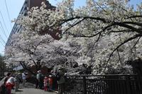 今年も桜が満開です!