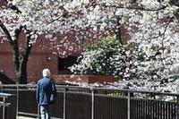石神井川の桜並木2016